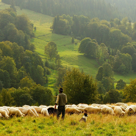 The good shepherd laid down hos life for the sheep.